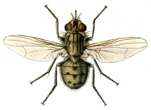 фото мухи жигалки